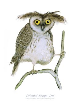 Oriental Scops Owl - signed print